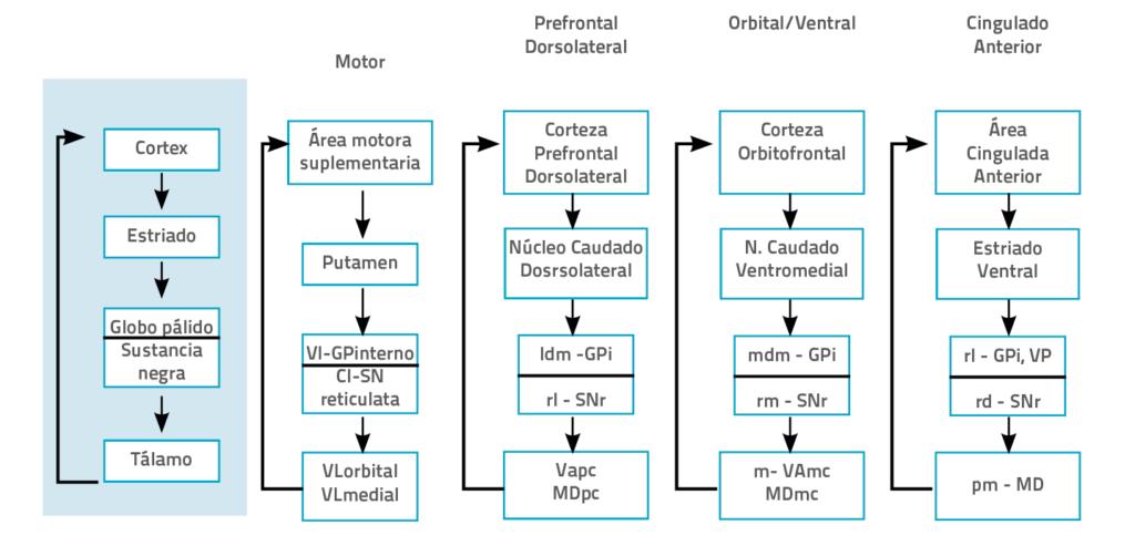 Bucles fronto-subcorticales segun Alexander