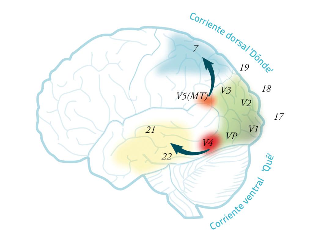 esquema cerebro en las agnosias visuales