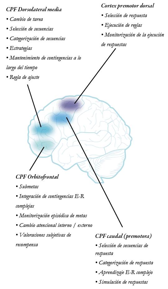 principales procesos en la corteza prefrontal